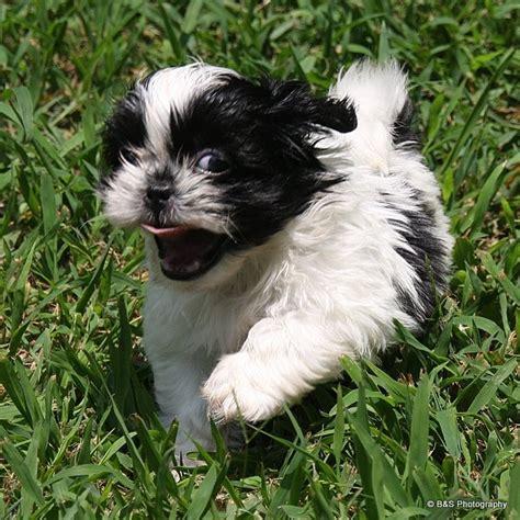 shih tzu running running puppy shih tzu s
