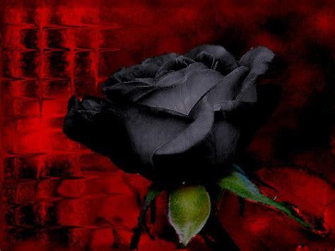 wallpaper flower black rose yellow color wallpapers black rose flowers