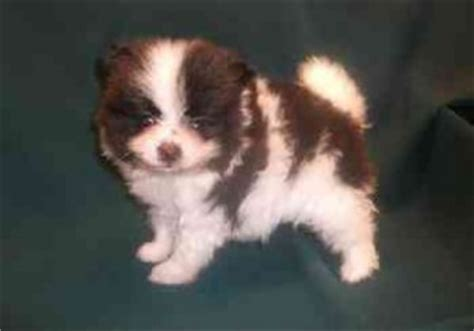 puppies for sale in binghamton ny pets binghamton ny free classified ads