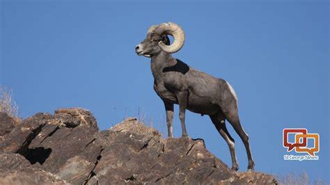 Bighorn sheep in Virgin River Gorge rarely seen but ...