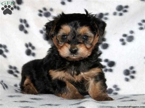 yorkie chon puppies for sale in pa tristan yorkie chon puppy for sale from christiana pa puppies puppys