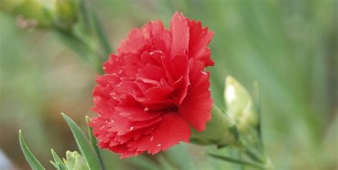 facts about carnations ohio state flower scarlet carnation proflowers blog