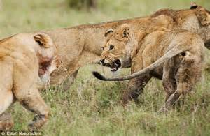 when a lioness growls a s pride books jungle the cub that does backflips daily mail