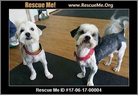 havanese rescue ga havanese rescue adoptions rescueme org