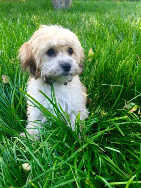 havanese behavior related keywords suggestions for havanese puppy