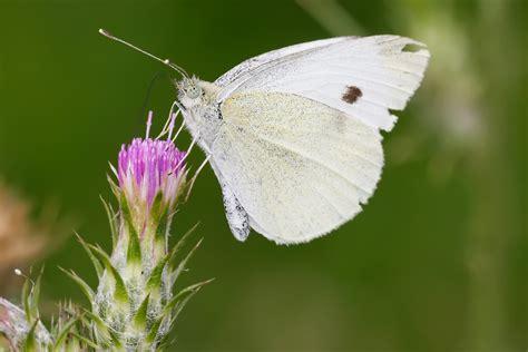 White Butterfly Photos butterfly garden butterflies backyard butterfly garden