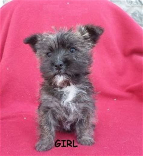 cairn terrier mix puppies kashon cairn terrier bichon frise mix info puppies pictures