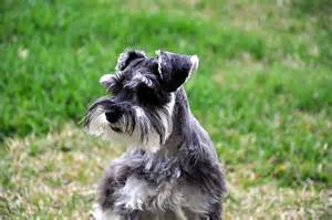 miniature schnauzer the zwergschnauzer or the
