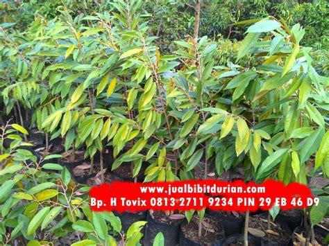 Bibit Buah Durian Montong bibit durian montong bibit durian montong bibit durian