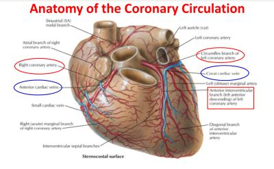 pattern of blood flow quizlet coronary flow at university of texas health science