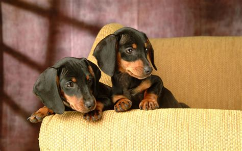 miniature dotson puppies miniature dachshund puppies wallpapers puppy dachshund 1920x1200 no 5 desktop