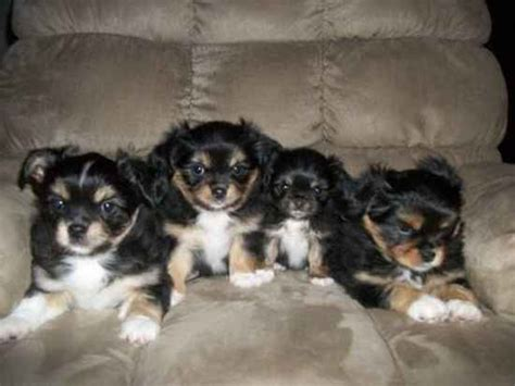 yorkie runt coco s litter the peke a pap s photo gallery