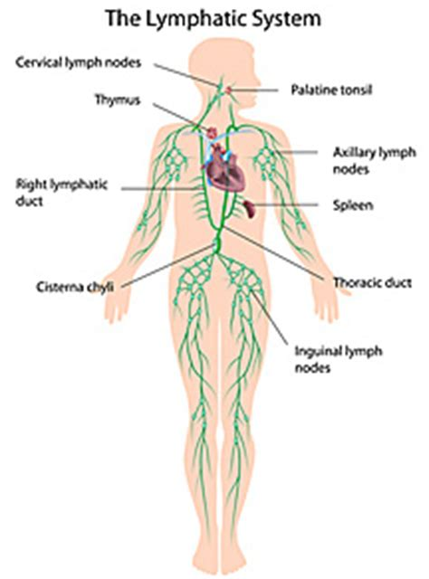 Best Way Detox Lymph System by Powerful Blood And Lymph Cleanser Dr Fosters Essentials