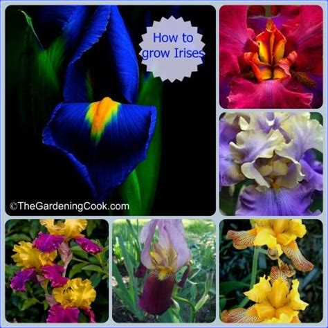 590 best images about an iris and a lily my favorite on