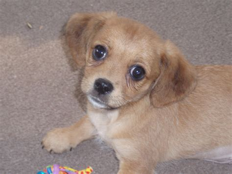 beagle mix puppy another poogle poodle beagle mix allmutt