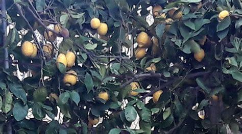 come coltivare un limone in vaso limone in vaso ecco come coltivarlo guida per casa