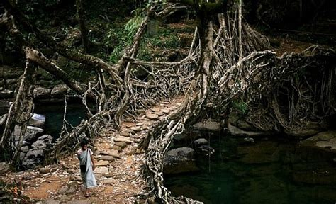 what is root bridge living growing root bridges are 100 natural architecture