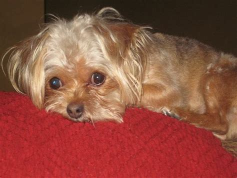petfinder yorkie pin by t napol on adoptable small breeds