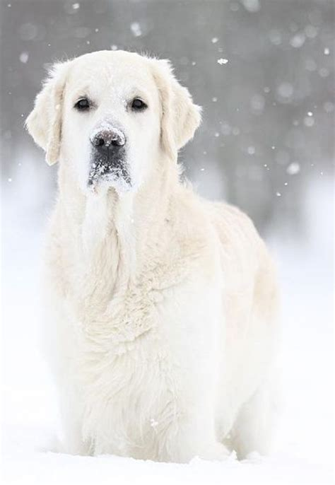 snow golden retrievers the world s catalog of ideas