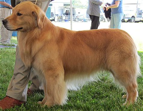 where do golden retrievers like to be petted golden retriever temperament pets world