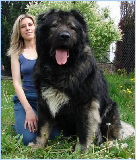 caucasian mountain dogs 25 best ideas about caucasian mountain dogs on caucasian caucasian