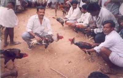 Pisau Taji Ayam sabung ayam bangkok di india tamil nadu dan propinsi