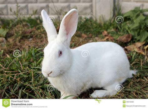 12 Md Rabbit Bery White big white rabbit stock photo image of up domestic 35676490