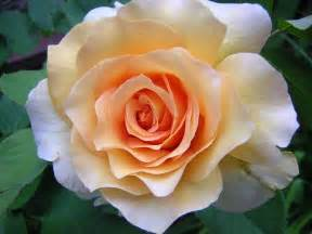 10 best images about top 10 best roses on pinterest swim hybrid tea roses and cottages
