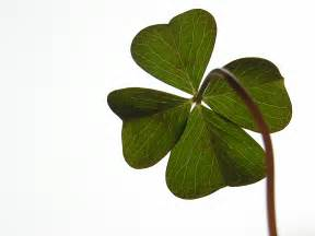not a four leaf clover shamrock is often confused with four leaf clover