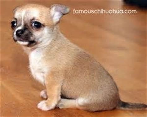 Do Hair Chihuahuas Shed by 17 Best Images About Hair Chihuahua Dogs On