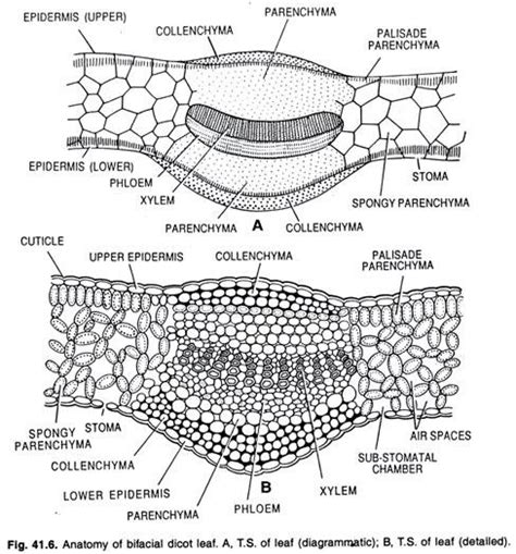 dicotyledonous leaf cross section essay on leaf with diagrams botany