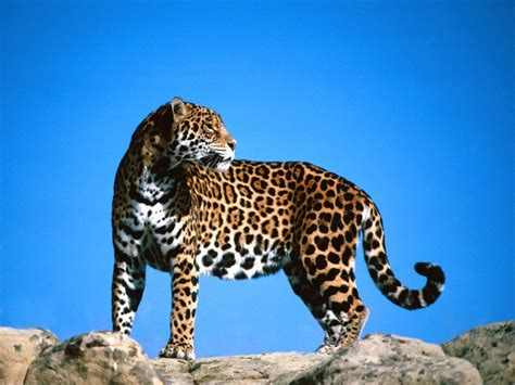 jaguar symbolism jaguar symbolism