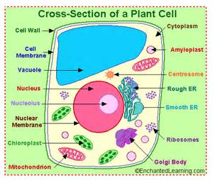 cell color plant cell vs animal cells the robbins nest