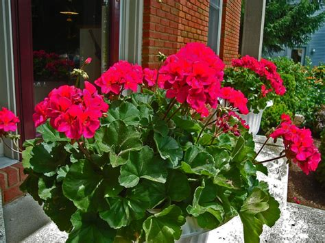 Schöne Balkonpflanzen by Die Geranien Typische Balkonblumen Mit Charme