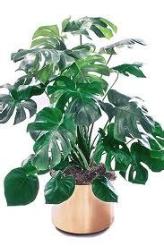 Philo Monstera interior landscapes and maintenance alive expressions