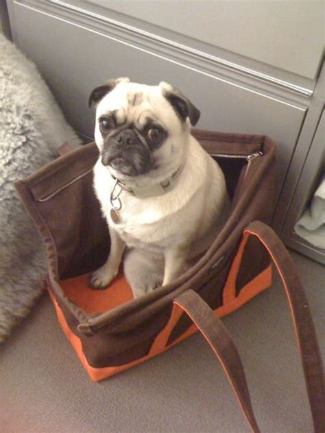 pug separation anxiety 14 things pugs do that drive us nuts