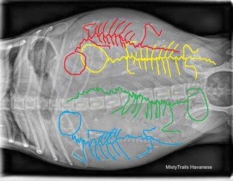 pros and cons of havanese breed whelping puppies pictures of dam x rays raising pups