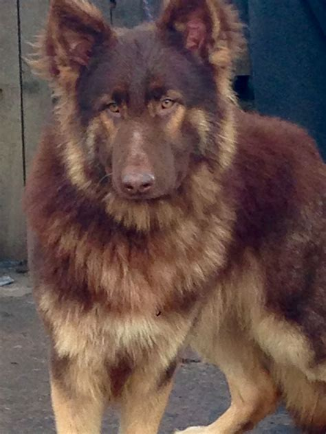 liver colored german shepherd kc german shepherd longcoat liver gold sheffield south