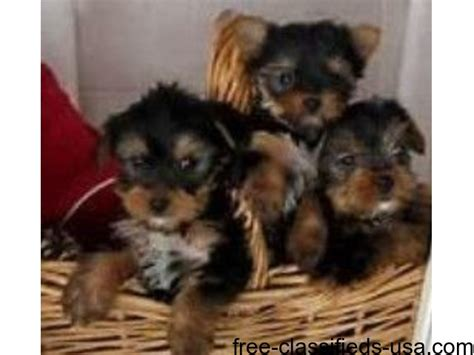akc registered yorkie puppies for sale akc registered teacup yorkie puppies for sale animals washington district