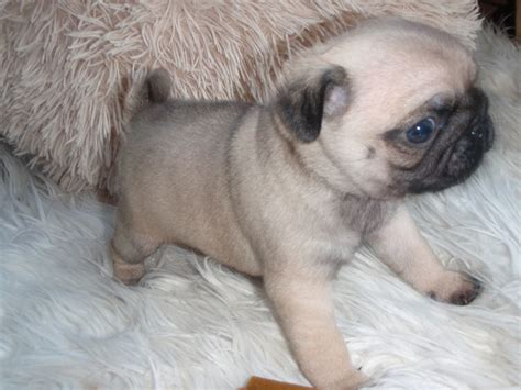 pugs for sale in cardiff gorgeous fawn pug for sale cardiff cardiff pets4homes