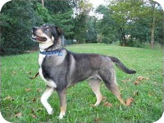 husky and rottweiler mix rottweiler and bullmastiff mixed breeds picture