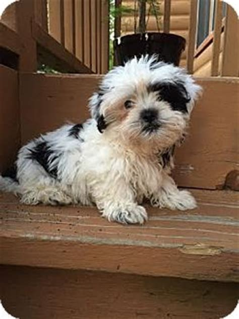 shih tzu maltese mix rescue algonquin il maltese shih tzu mix meet loki a puppy for adoption