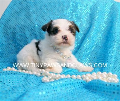 do yorkies dew claws teacup yorkie puppies for sale in houston parti yorkies white
