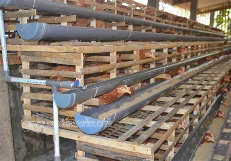 Jual Bibit Ayam Petelur Di Madiun tambah penghasilan dengan membudidayakan ayam petelor