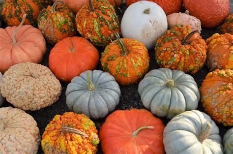 what color are pumpkins a peck of pumpkins lewis ginter botanical garden