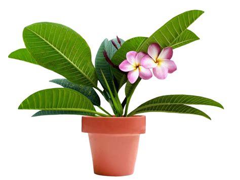 Als Zimmerpflanze by Frangipani Als Zimmerpflanze Halten 187 So F 252 Hlt Sich Die