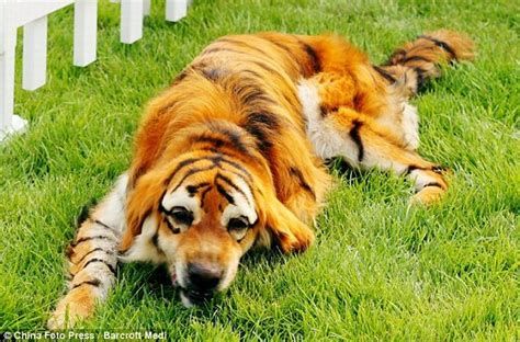 tiger puppy panda dogs and tiger dogs are popular in china 10 pics
