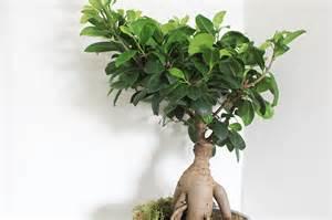 s entourer de belles plantes le ficus ginseng frenchy