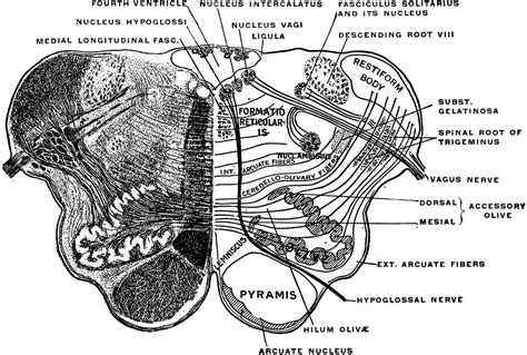 Medulla Cross Section by Section Of The Medulla Oblongata Clipart Etc