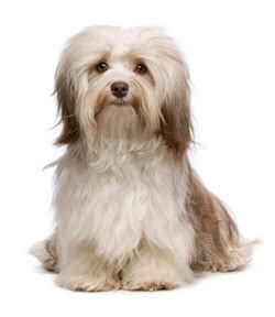 havanese puppies uk image gallery havanese puppies uk